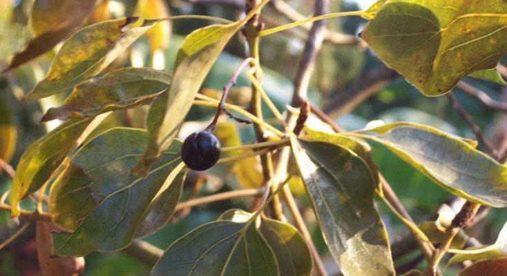 Effets bénéfiques de l'huile de Ravintsara